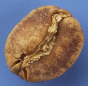 bean-onset-of-internal-scorching-300x294